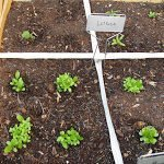 Square Foot Gardening–Progress!