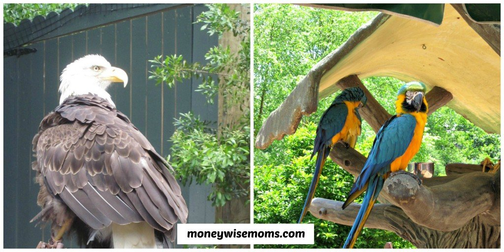 Eagles and Parrots at Busch Gardens Williamsburg #familytravel #buschgardens | MoneywiseMoms