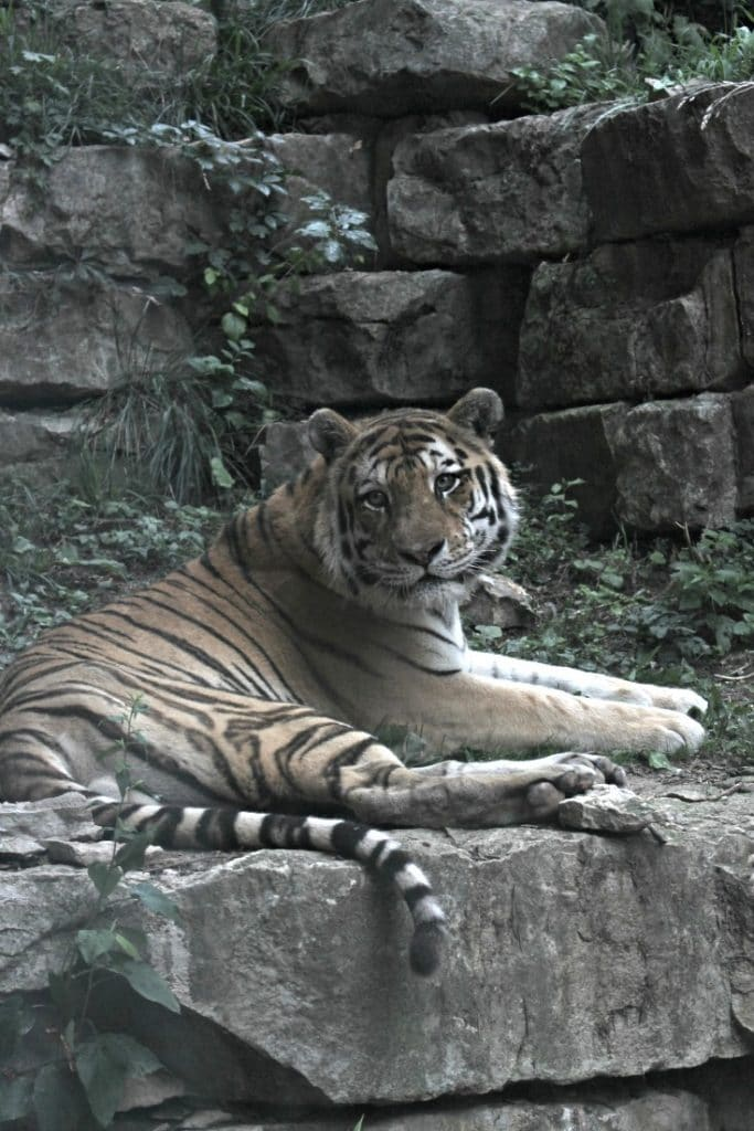 Tiger at Henry Doorly Zoo and Aquarium in Omaha