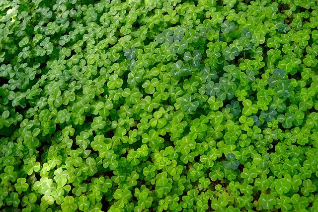 Field of three leaf clovers